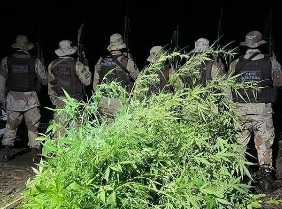 Plantação de Maconha é descoberta e erradicada na zona rural de Ibicoara