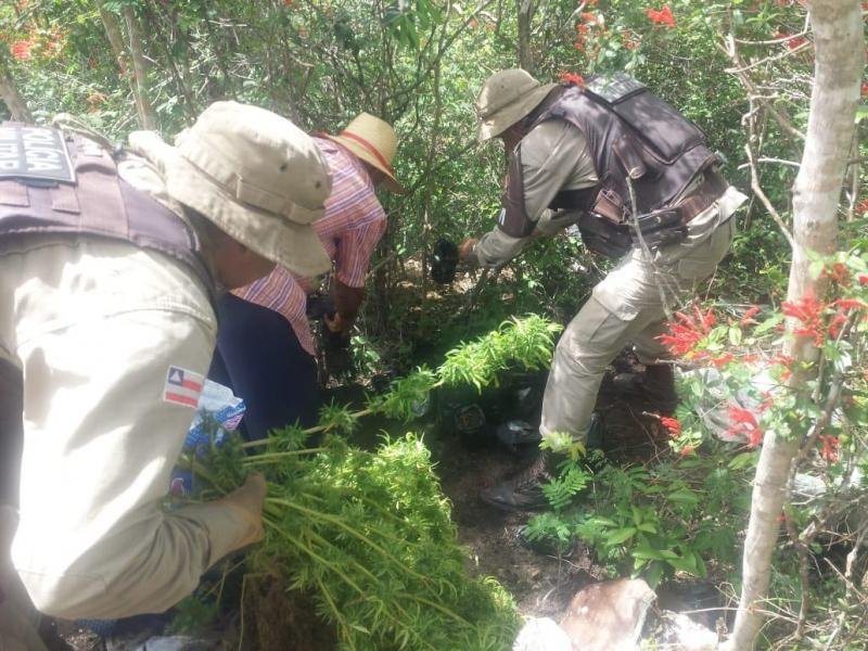 Plantação de maconha é descoberta pela polícia em Seabra