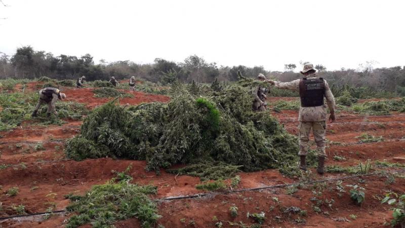 Cipes Chapada e Semiárido encontram 2 toneladas de maconha em Iraquara
